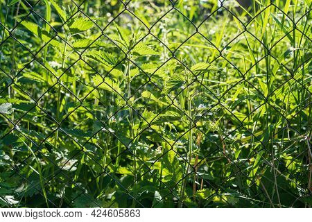Dense Vegetation In An Unkempt Area. There Are Vigorous Young Plants Of Nettle And Green Sedges. In