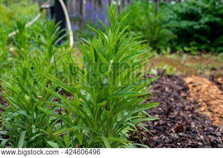 Botanical Collection, Young Green Plants Of Medicinal Toxic Plant Digitalis Lanata Or Woolly Foxglov