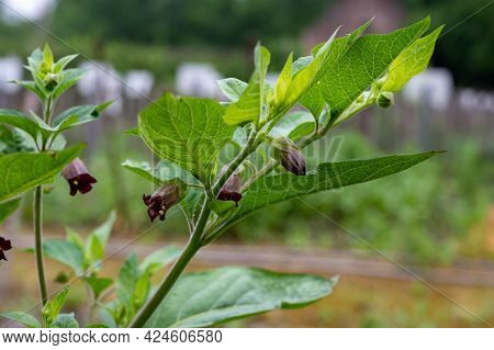 Atropa Belladonna, Commonly Known As Belladonna Or Deadly Nightshade, Is  Poisonous Perennial Herbac
