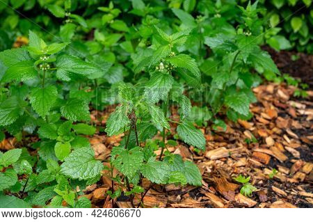Lamium Album, Medicinal Plant Commonly Called White Nettle Or White Dead-nettle Is A Flowering Plant