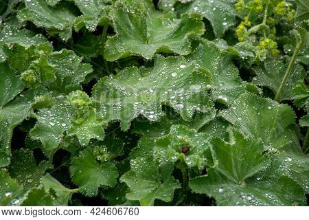 Alchemilla Vulgaris Or Lady's Mantle, Herbaceous Perennial Plant Member Of The Rose Family, Are Grow
