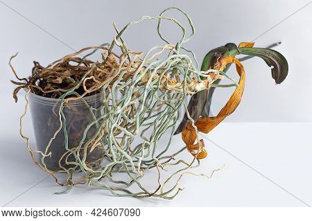 The Overgrown Roots Of An Exotic Orchid Stick Out Of A Plastic Flower Pot. The Dry Roots Of A Dead O