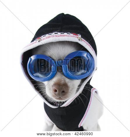a tiny white chihuahua with goggles and a hoodie on