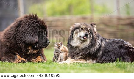 Symbiosis Of Dogs And Kittens In The Garden. Socialised Animals Cats And Dogs.