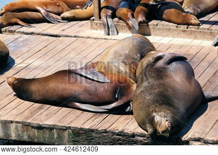 Sea Lions Resting On A Wooden Boardwalk Taken At Fishermans Wharf In San Francisco, Ca