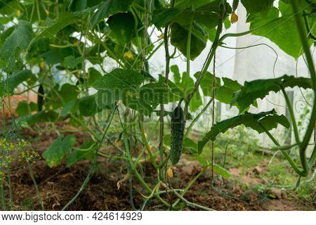 Cucumbers In A Garden In The Village. Scourge Of Cucumbers On The Grid. The Bed Of Cucumbers In The