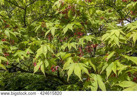 Japanese Maple (aceraceae Acer Palmatum) Leaves At Garden.
