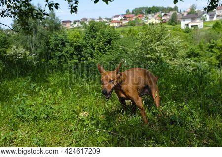 Dwarf Mini-pinscher On A Walk, Dog On A Walk In Nature, Portrait Of A Dwarf Pinscher Close-up. The D