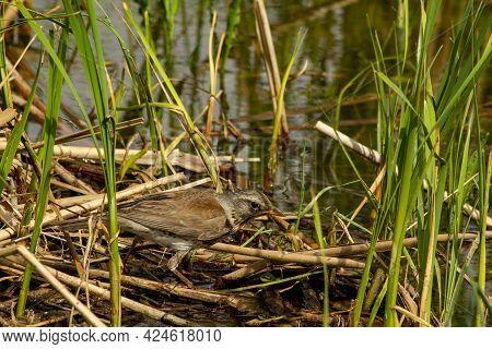 Catbird Fieldfare Turdus Pilaris Hid On The Coast Of The Village River.