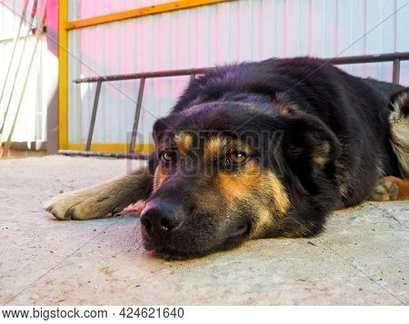 The Muzzle Of A Mongrel Black-brown Dog Lying On The Floor And Looking Attentively At The Camera