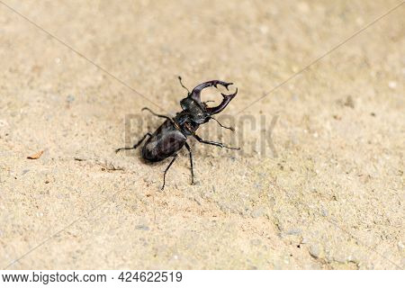 One, Single European Stag Beetle On The Ground