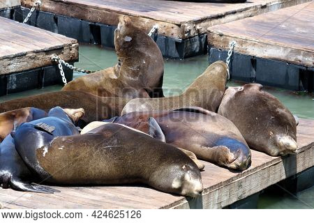 Sea Lions Resting On A Wooden Pier Besides A Boardwalk Taken In The Central California Coast