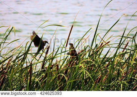 Cormorant Birds Native To The North American Waterways Taken On Lush Tallgrass At Prado Lake In Chin