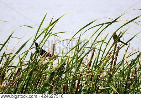Cormorant Birds Which Is Native To North American Waterways Taken On Lush Wetlands With Native Tallg