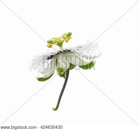 Passion Fruit Flower Isolated On White Background