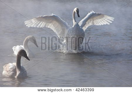 Trumpeter swan with wings stretched outward.  Mist coming off the water into the cold winter air poster