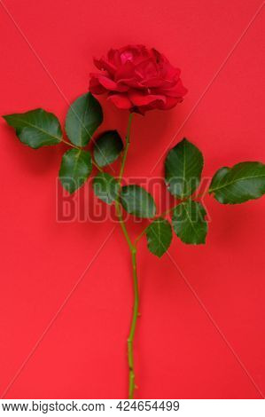 Red Rose On . Beautiful Floral Background. Valentines Day Background.