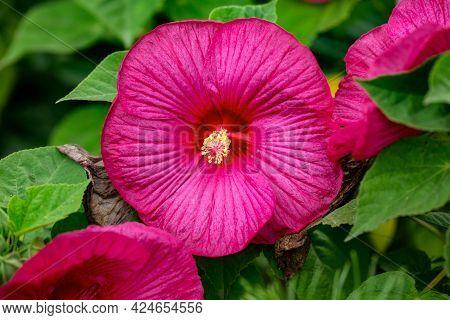 Flowering Flower Head Of Pink Hibiscus In The Garden