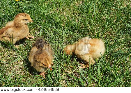 Three Chicken Chicks, Two Weeks Old. Small Brown And Yellow Chickens Walk, Peck At Grass