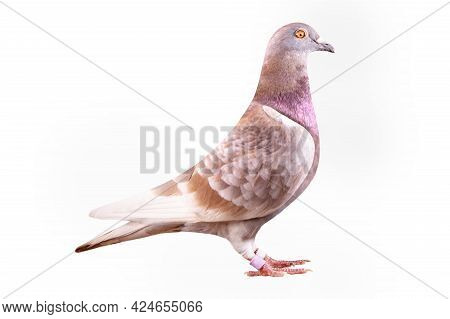 Red-checker Homing Pigeon Side View  Isolated White Background