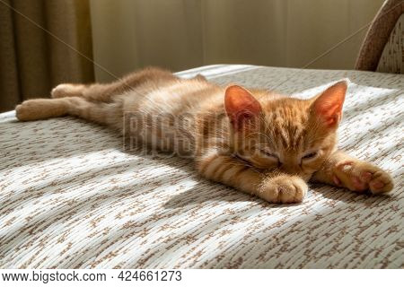 A Small Beautiful Red Tabby Kitten Falls Asleep On The Couch And Squints At The Camera. Front View,