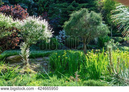 Summer Garden With Conifer Trees, Green Grass . Gardening Concept.