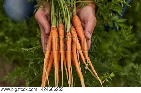From Above Crop Anonymous Gardener Showing Bunch Of Fresh Organic Carrots With Green Leaves While Ha