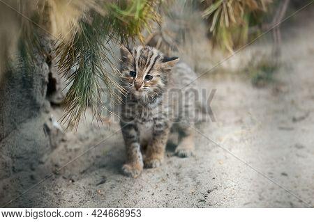 Amur Forest Cat (prionailurus Felis Bengalensis Euptilura). Far Eastern Cat Is A Northern Subspecies