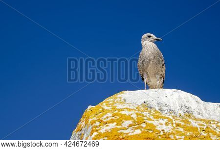 Seagull Resting Down On A Rock At Cies Island With A Intense And Clean Blue Sky On Background