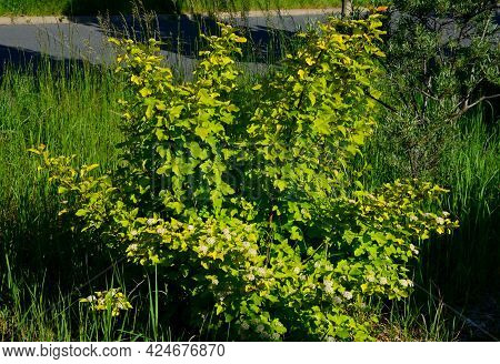 This Bright Yellow Melt Forms A Tall, Decaying Shrub With Strongly Overhanging Branches. The Basic S
