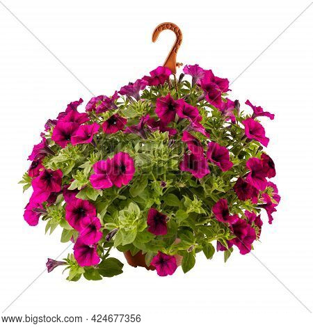 Calibrachoa Or Bell Flower, Flower Of A Cultivated Million Bell In Hanging Pot Isolated On White Bac