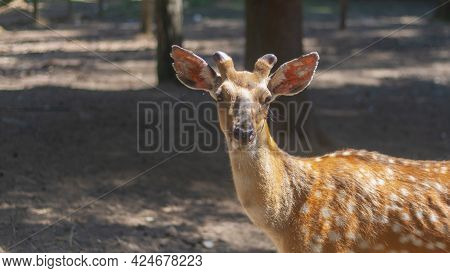 Spotted Deer In The Reserve Walks Among The Trees In The Forest, A Wild Animal In Nature.