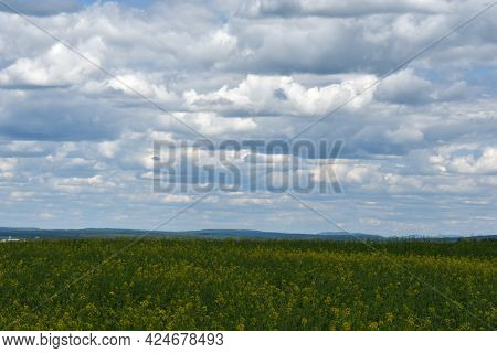 Fields Of Yellow Flowers In The Canadian Countryside In Quebec