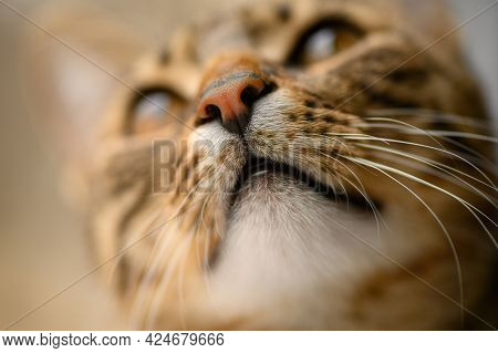 Young european shorthair breed cat's head, very shallow DOF, selective focus at nose and whiskers