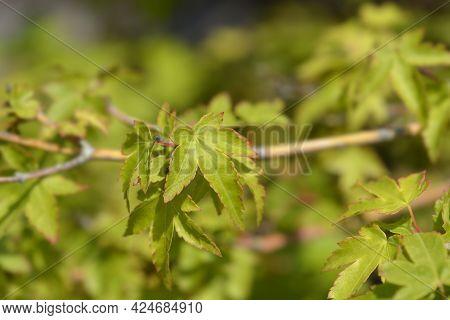 Japanese Maple Kiyohime Leaves - Latin Name - Acer Palmatum Kiyohime