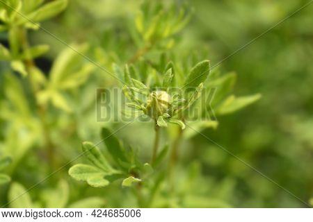 Shrubby Cinquefoil Goldfinger Flower Bud - Latin Name - Potentilla Fruticosa Goldfinger