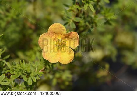 Shrubby Cinquefoil Bella Sol - Latin Name - Potentilla Fruticosa Bella Sol