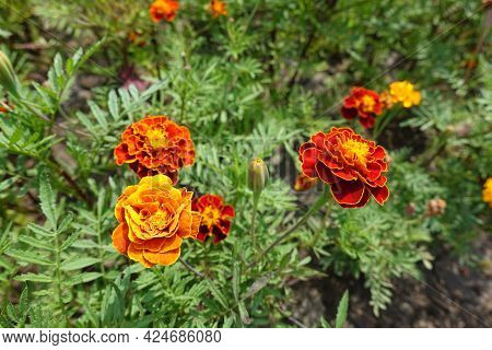 Florescence Of Red And Yellow Tagetes Patula In Mid July