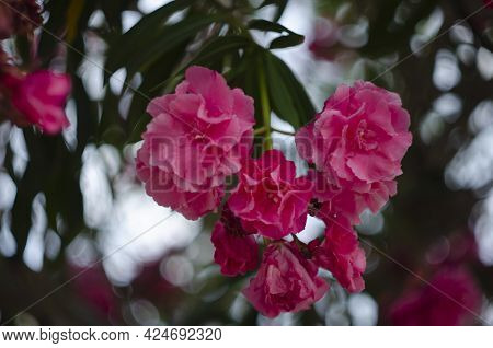 Close Up View Pink Oleander Or Nerium Flower Blossoming On Tree. Beautiful Floral Background
