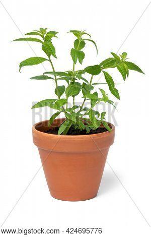 Lemon beebrush plant in ceramic pot isolated on white background