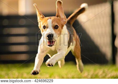Happy Dog Running Through Lawn Towards Camera.