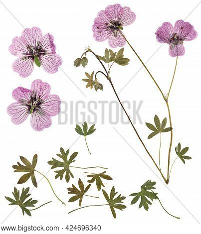 Pressed And Dried Delicate Transparent Flowers Geranium, Isolated On White Background. For Use In Sc