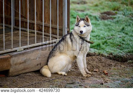 Husky Sitting Near The Enclosure, A Dog On A Leash, A Pet In An Enclosure.
