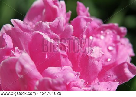Beautiful Pink Peony Flower With Dewdrops In The Garden