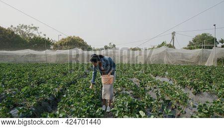 Woman pick strawberry in farm