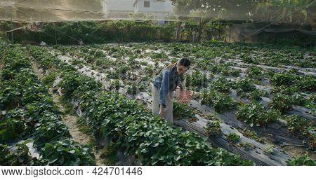 Woman go strawberry farm and pick strawberry