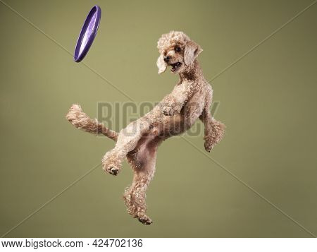 Funny Active Dog Jumping With Disk. Happy Small Poodle On Color Background
