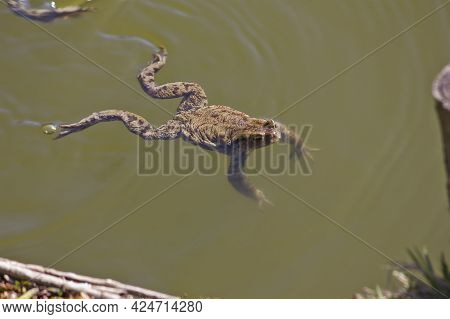 Toad Swimming In A Pond Close Up