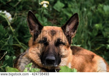 Charming Black And Red German Shepherd Is Resting In Grass And Has Closed Its Eyes From Pleasure And