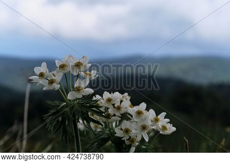 Meadows In Mountains. Beautiful White Wild Mountain Flowers Close Up On Blurry Background Of Forest